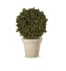 Pittosporum Tenuifolium ball