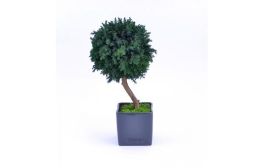 Stromček Juniperus