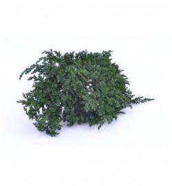 Juniperus - JUN 0000